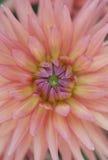 Closeup av den livliga rosa dahliablomman Arkivfoto