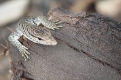 CloseUp av den Monitary ödlan Royaltyfri Foto