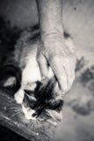 Closeup av den mycket gulliga en gråa katten i hög person Royaltyfri Fotografi