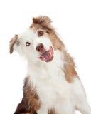 Closeup av den nyfikna gränsen Collie Dog Royaltyfri Foto