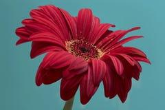 Closeup av den röda gerberablomman Arkivfoto