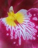 Closeup av den röda och gula orkidén Royaltyfria Bilder