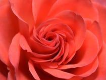 Closeup av den röda rosblomman Royaltyfria Bilder