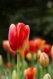 Closeup av den röda tulpan i trädgård Royaltyfri Fotografi