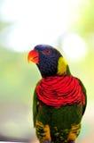 Closeup av den regnbågeLorikeet fågeln Royaltyfri Fotografi