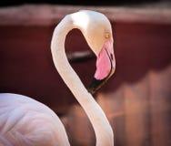 Closeup av den rosa flamingo Royaltyfri Bild
