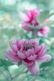 Closeup av den rosa pionblomningen Arkivbilder