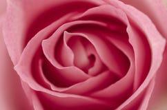 Closeup av den rosa ron. Arkivfoto
