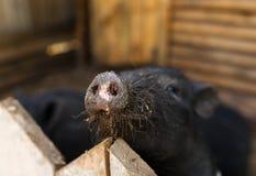 Closeup av den rosa stora smutsiga nosen av det bruna svinet till och med trästaketet Fotografering för Bildbyråer