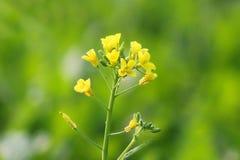 Closeup av den senapsgula blomman Fotografering för Bildbyråer