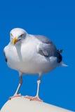 Closeup av den stora Svart-drog tillbaka fiskmåsen Royaltyfria Foton