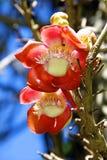 Closeup av den storartade Awapuhi (facklaingefära) blomman. Arkivbild