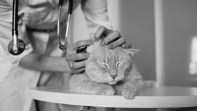 Closeup av den veterinär- kvinnan med den undersökande katten för stetoskop i medicinskt veterinärkontor arkivbild