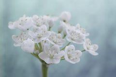Closeup av den vita alliumblomman Arkivfoto
