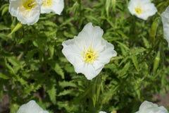 Closeup av den vita blomman av Oenotheraspeciosaen Arkivfoto