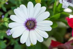 Closeup av den vita daisybushblommaväxten, Osteospermum ecklonis Royaltyfria Foton