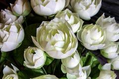 Closeup av den vita frabic lotusblomman Royaltyfri Foto
