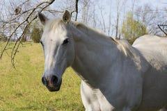 Closeup av den vita hästen Arkivfoto