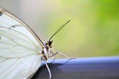 Closeup av den vita Morpho fjärilen Arkivfoton
