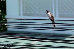 Closeup av denmed polisonger bulbulfågeln på kabeln royaltyfri foto