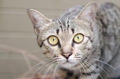 Closeup av densynade katten Royaltyfri Foto