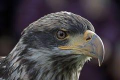 Closeup av det Eagle huvudet Arkivfoto
