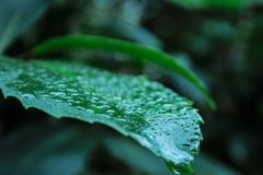Closeup av det gröna bladet som täckas med waterdrops i rainforest på den södra ön av Nya Zeeland royaltyfri foto