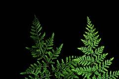 Closeup av det gr?na ormbunkebladet som isoleras p? svart bakgrund arkivfoto