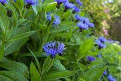 Closeup av det nationella emblemet för Skottland ` s, blomman för blå tistel arkivbild