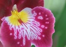 Closeup av det röda och gula orkidékronbladet Royaltyfri Foto