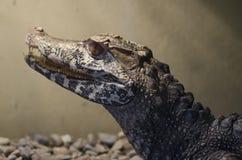 Closeup av det svarta kajmanhuvudet Melanosuchus Niger arkivfoton