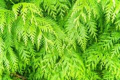 Closeup av det vintergröna trädet som fyller bilden Arkivbild