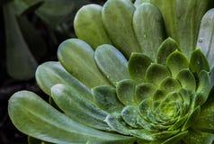 Closeup av en ökenväxt efter regn Fotografering för Bildbyråer