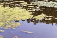 Closeup av en algalblom i en liten kropp av sötvattens- lidande från sträng eutrophication royaltyfri foto