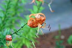 Closeup av en apelsin och en svart Tiger Lilly arkivfoton
