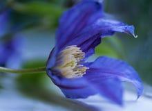 Closeup av en blå fältblåklint Arkivbilder