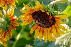 Closeup av en briljant gul solros som nedåt hänger arkivfoto