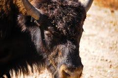 Closeup av en buffel royaltyfria foton