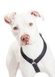 Closeup av en Dogo Argentino Dog Arkivfoto