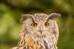 Closeup av en EurasianEagle-Owl Bubo bubo arkivfoto