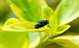 Closeup av en fluga på ett grönt blad royaltyfria bilder