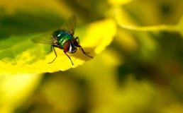 Closeup av en fluga på ett grönt blad arkivbild