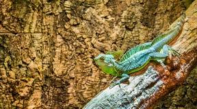 Closeup av en grön putsad basilisk, manlig ödla, tropiskt reptilhusdjur från Amerika royaltyfria bilder