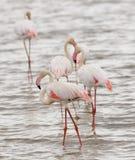 Closeup av en grupp av flamingo royaltyfria bilder