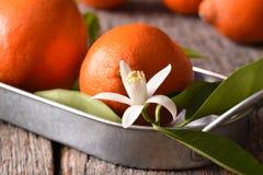 Closeup av en grupp av Tangelos på ett metallmagasin med sidor och orange blomningar royaltyfria bilder