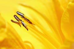 Closeup av en gul liljapistill fotografering för bildbyråer