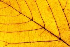 Closeup av en gula Autumn Leaf Royaltyfri Foto