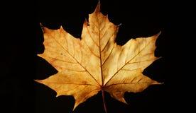 Closeup av en gula Autumn Leaf mot en svart bakgrund royaltyfri foto