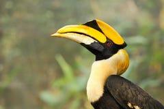Guling fakturerad Hornbill Arkivbild