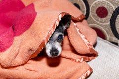 Closeup av en gullig chihuahuahund under filten Fotografering för Bildbyråer